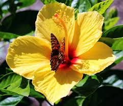 butterfly on hibiscus flower wings closed by winterface on deviantart