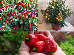native edible plants australia why does the label say my ornamental chilli is toxic jerry