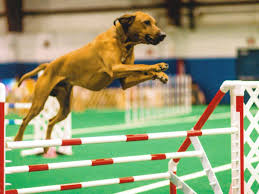 afghan hound agility westminster behind the scenes at the agility trials with tavari