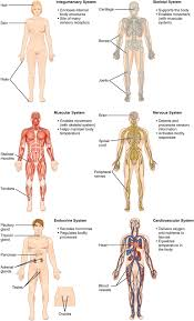 Anatomy And Physiology Human Body Main Organ Of Skeletal System 1 2 Structural Organization Of The