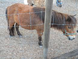 is my mini horse pregnant backyard chickens
