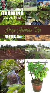 885 best grape growing images on pinterest growing grapes grape