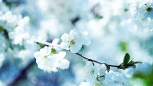 white cherry blossom 15 best cherry blossom background wallpapers freecreatives