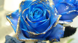 blue roses blue hd desktop wallpapers 7wallpapers net