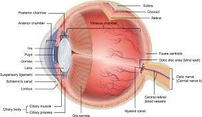 Surface Anatomy Eye Eye Anatomy