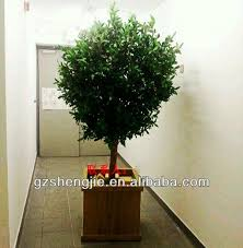 best 25 olive trees for sale ideas on mediterranean
