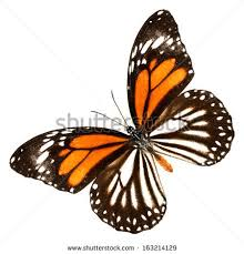 white tiger butterfly isolate on white stock photo 163214129