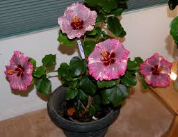 Which State Has A Hibiscus by Hidden Valley Hibiscus Wintering Tropical Hibiscus