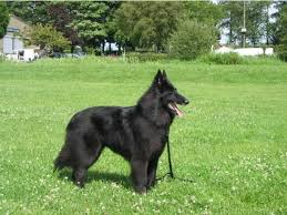belgian shepherd breeds 44 best belgian shepard sheepdog groenendael images on pinterest