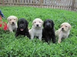 affenpinscher dogs for sale affenpinschers and training