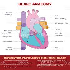Borders Of The Heart Anatomy Diagram Of Human Heart Anatomy Stock Vector Art 504179416 Istock
