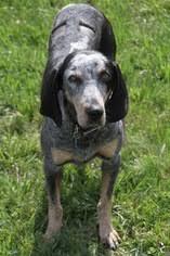 bluetick coonhound dog view ad bluetick coonhound dog for adoption north carolina