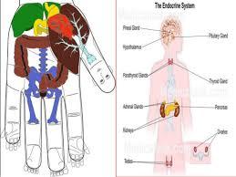 Back Knee Anatomy Sujok Acupressure For Back Knee Cervical Pain