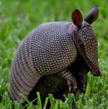Alabama wild animals images 29 best america aarmadillo images armadillo wild jpg