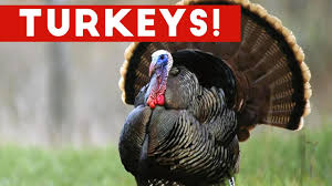 funny images of turkeys in thanksgiving funniest gobbling turkey video compilation november 2016 funny