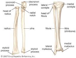Shoulder Bone Anatomy Diagram Like The Humerus The Radius U0027 Primary Function Includes Motion Of