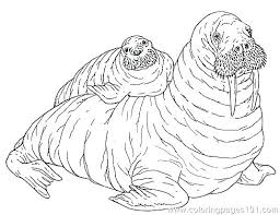 coloring page for walrus walrus coloring pages walrus coloring page walrus color pages