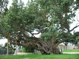 what tree is the sycamine israel tours