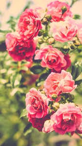 Flower Screen Backgrounds - fores pinterest wallpaper flowers and phone