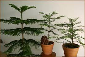 molbak s garden home norfolk island pine house plants