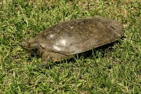 Ringed Map Turtle A Complete List Of The Different Types Of Turtles With Pictures
