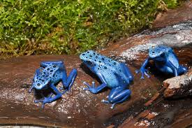 now we know why poison frogs don u0027t poison themselves