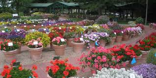 12 Best Annual Flowers For by Best Annuals And Perennials For Colorado N And N Lawn