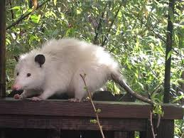 Possum In My Backyard Berkeley Woman Terrorized By Giant Rat Or What Exactly