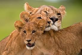 the last lions big cat week episode nat geo wild