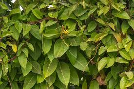 photo 1738 10 climbing plant with yellow flowers in gardens of