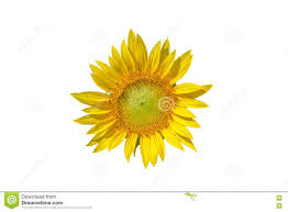 sunflower yellow pastel colors with white background stock photo