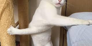 Morpheus Cat Meme - cat stuck in weird position wins over japan becomes meme