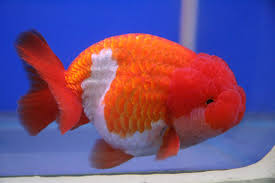 What Is Comfortable Water Temp For Swimming Proper Goldfish Water Temperatures Petcha