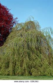 ornamental weeping salix willow tree stock photos ornamental