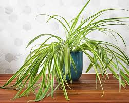 houseplant week spider plants real life on purpose