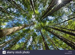 looking up at the canopy through the trees with green leaves