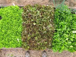 lettuce 1 jpg