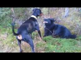 belgian sheepdog vs belgian malinois german shepherd vs belgian malinois sporter tv all about sport