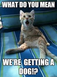 Angry Cat Meme - image angry cat meme what do you mean we re getting a dog jpg