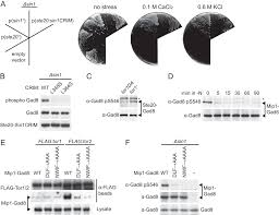 Anti Flag Affinity Gel Figures And Data In Substrate Specificity Of Tor Complex 2 Is