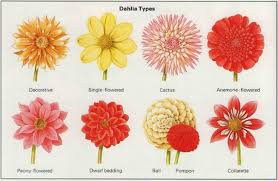 dahlias flowers growing dahlias guide to dahlia flowers