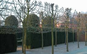 tara dillard clipped evergreen hedges with espalier fruit trees