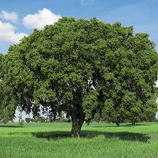buy live oak trees in helotes and san antonio wilson landscape