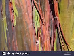 rainbow eucalyptus tree in san juan puerto rico stock photo