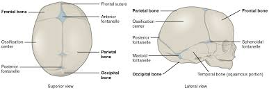 How Many Bones Form The Cranium Embryonic Development Of The Axial Skeleton
