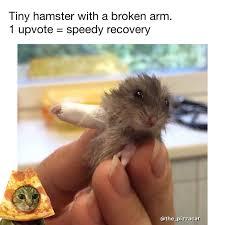 Meme Get Well Soon - get well soon tiny hamster animals pinterest memes