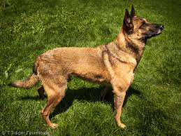 belgian malinois 101 youtube belgian malinois pictures and informations dog breeds com