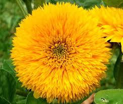 teddy sunflowers sunflower teddy helianthus annuus seeds