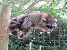 zazouse was right it was a raccoon backyard chickens