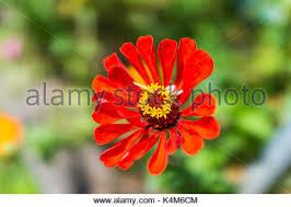 Zinnia Flower One Single Flower Zinnia Red Colour On Green Grass Background